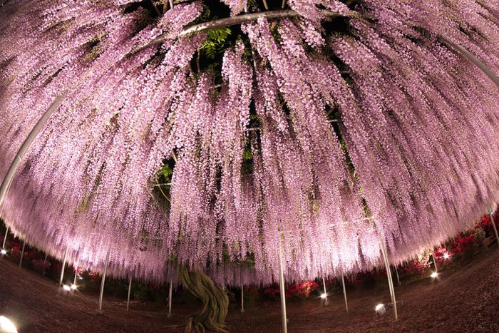 Why You Need To Hop On A Plane And Visit Japan's Wisteria Festival (35 pics)