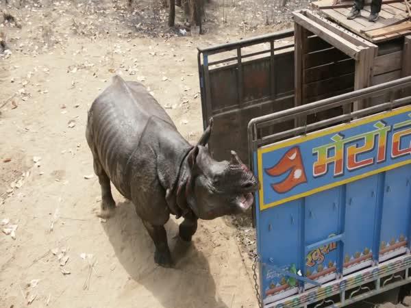 Rhino Released In Shuklaphanta National Park