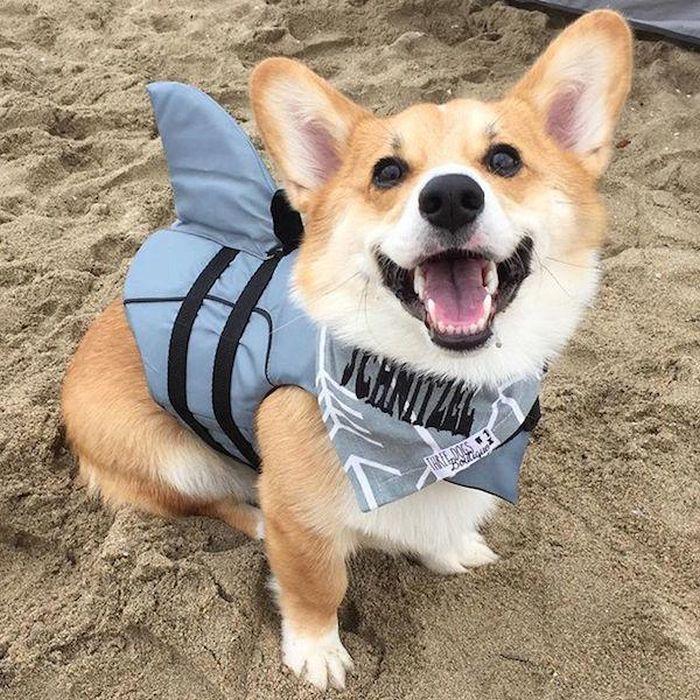 Corgis Enjoy A Day On The Beach (17 pics)