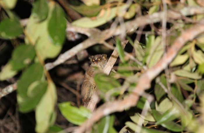 New Dwarf Galago Species Discovered In Angola (5 pics)