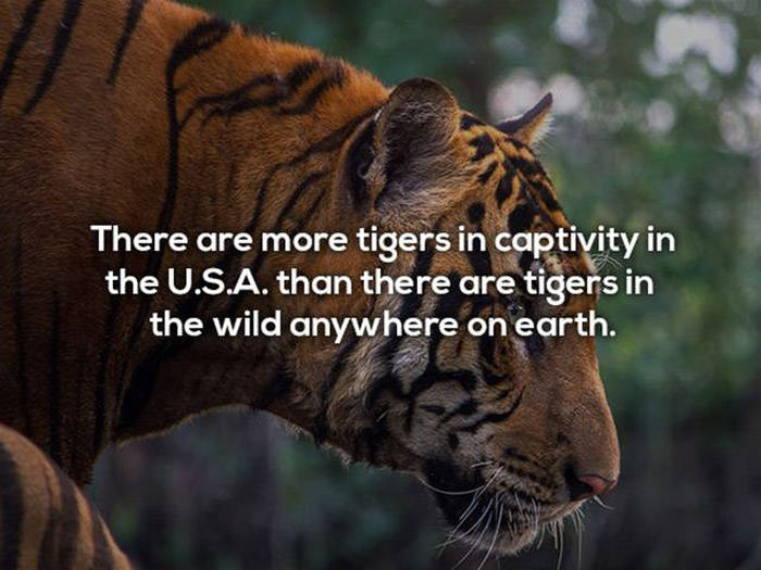 Surprising Facts You Need To Know About Tigers (21 pics)