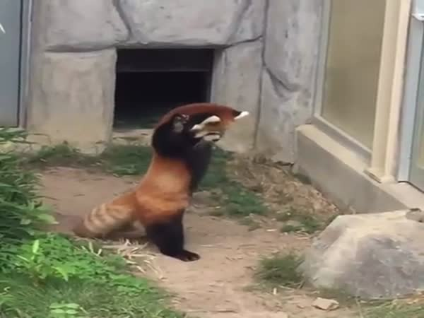 Cute Little Red Panda Has An Over The Top Reaction To A Rock