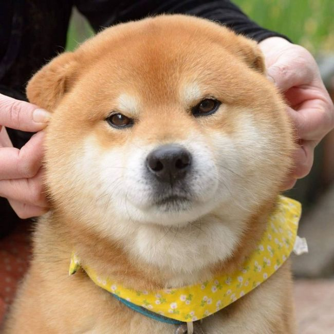 Ryuji Is The Most Adorable Shiba From Japan (17 pics)