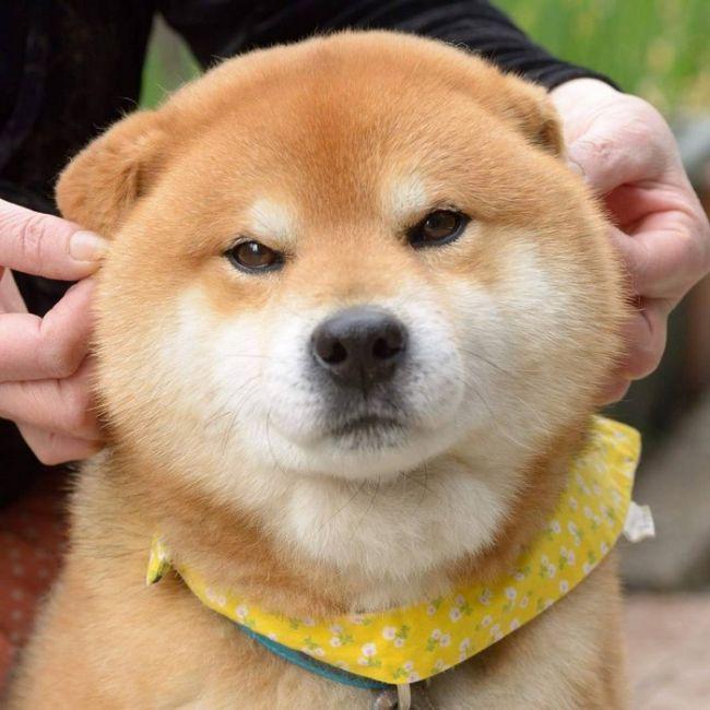 Ryuji Is The Most Adorable Shiba From Japan (17 pics)