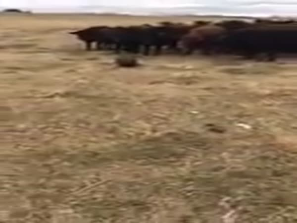 A Beaver Leads A Herd Of Curious Cattle In The Pasture