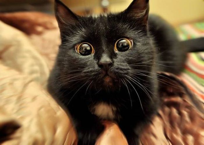 Cats Are The Greatest Actors In The Animal Kingdom (44 pics)