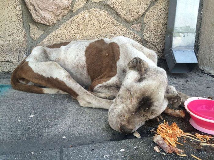 Starving Dog Found Dying On A Sidewalk Gets Real Love (6 pics)