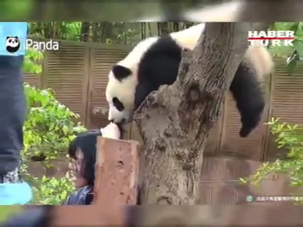 Panda Attacked A Man