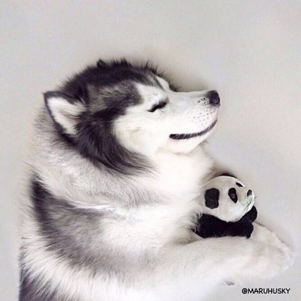 People Are Falling In Love With This Husky That Looks Like A Panda (32 pics)