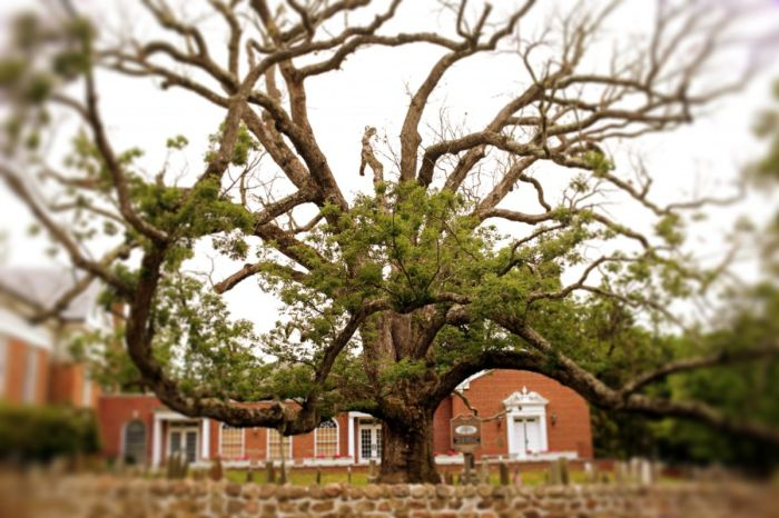 A 600 Year Old Oak Tree Finally Gets Cut Down (4 pics)