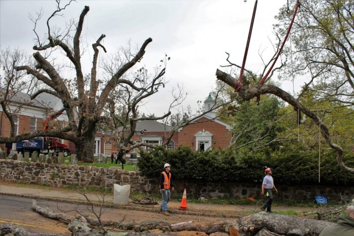 A 600 Year Old Oak Tree Finally Gets Cut Down (4 pics)