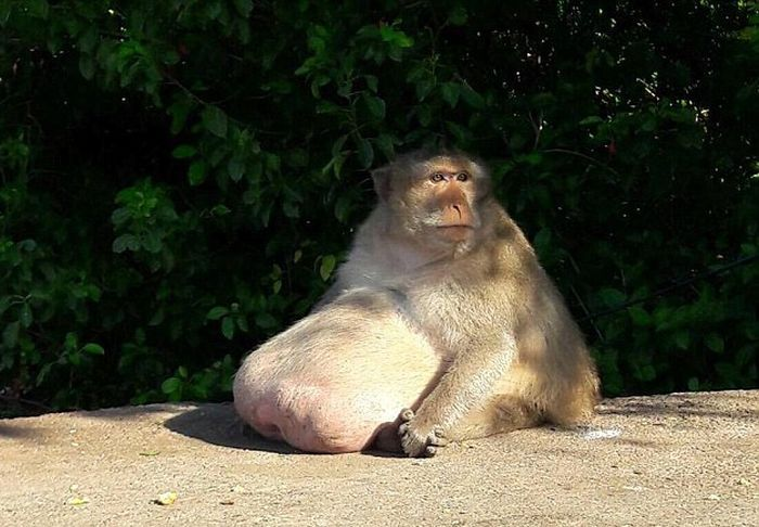 This Obese Monkey Is Going To Fat Camp (10 pics)