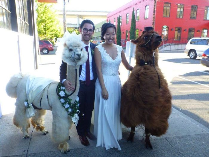 You Can Have Llamas Dressed As A Bride And Groom At Your Wedding (14 pics)