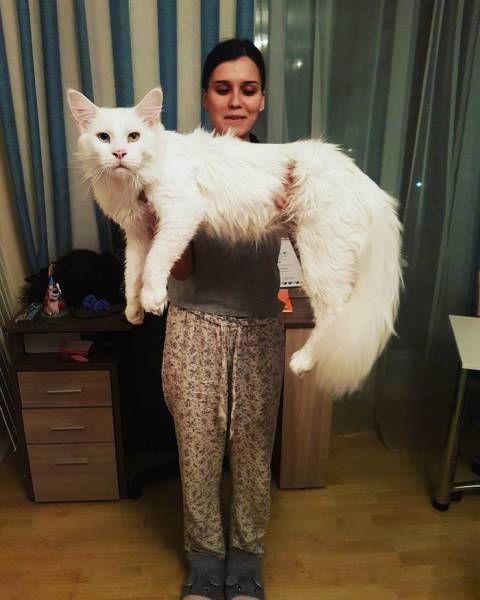 Big Cat Gives His Owners Big Love (9 pics)