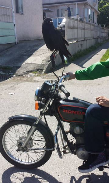 Crows Seriously Don't Care About Anything In This World (42 pics)