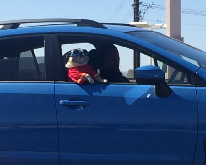 This Pug Is Just Too Cool For Its Own Good (3 pics)