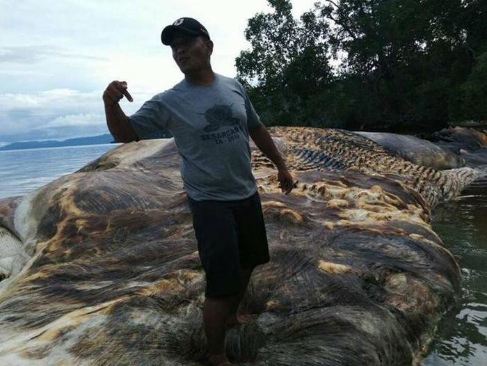 Giant Sea Creature Washes Up In Indonesia (5 pics)