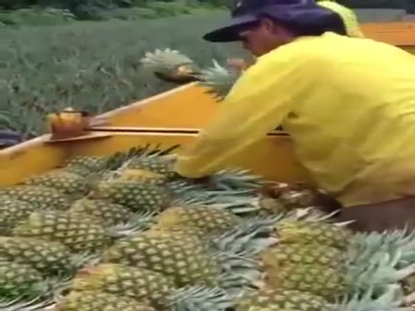 Loading Of Pineapples