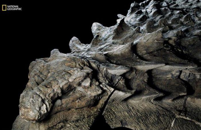 Lifelike Dinosaur Fossil Finally Makes Its Public Debut (6 pics)