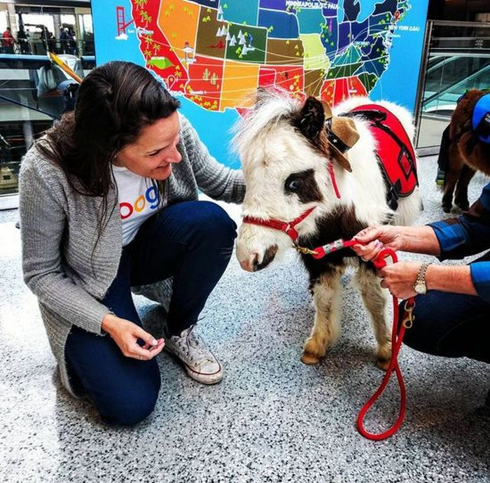 American Airport Eases Anxiety With Miniature Horses (5 pics)