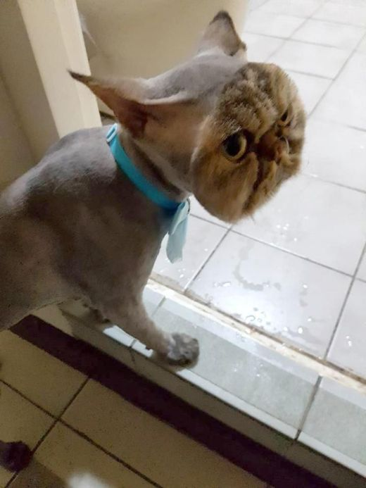 Pet Cat Returns Completely Bald Except For His Face (3 pics)