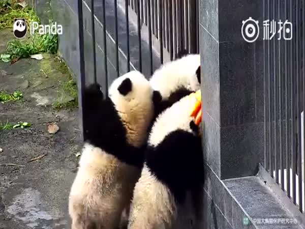 Four Panda Cubs Demonstrate Some Real Teamwork In An Effort To Get Out