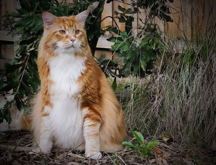 Extra Long Cat Claims To Hit The Guinness Book Of Records (10 pics)
