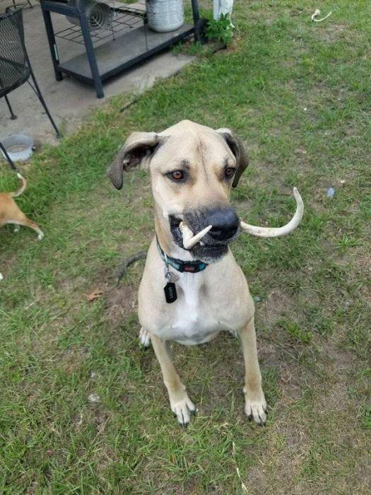 Саблезубая собака