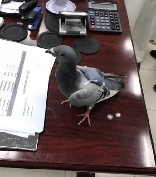Pigeon Get Busted Smuggling Drugs (4 pics)