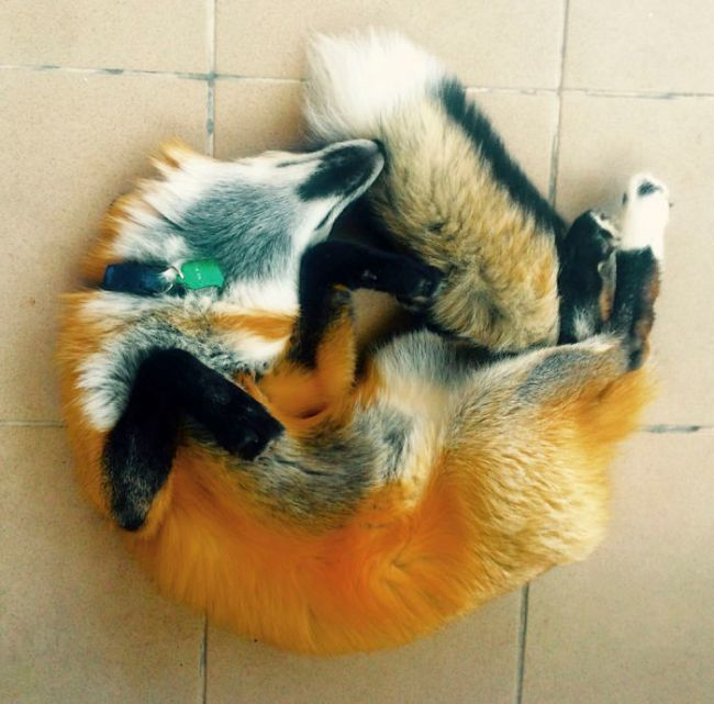 Rescued Fox Gets A New Friend (18 pics)