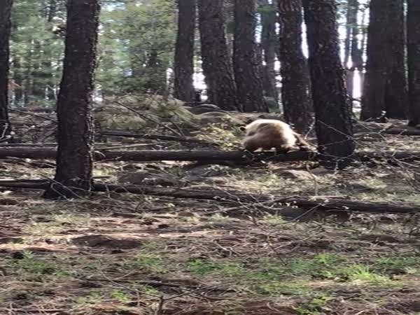 Bear Vs Elk