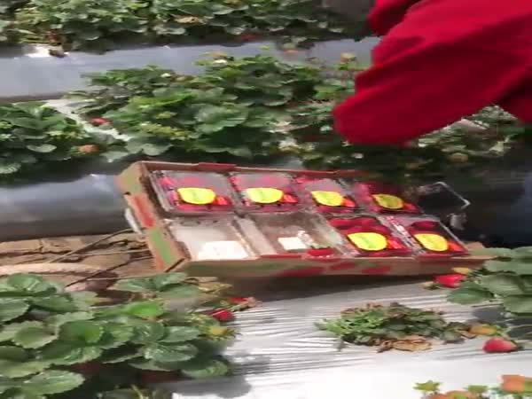This Strawberry Picker Has Some Quick Hands