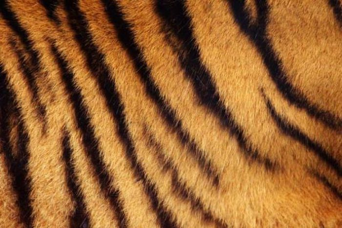 This Is What's Hidden Under Tiger's Striped Fur (9 pics)