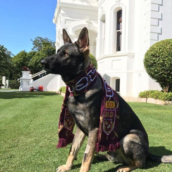 Police Dog Flunky Gets Vice Regal Dog Job (14 pics)