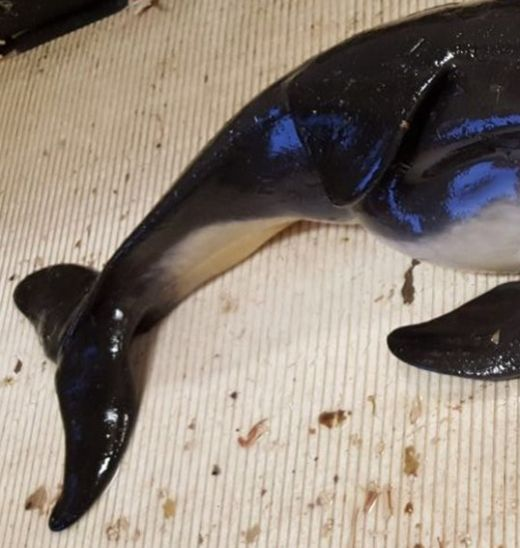 First Two Headed Porpoise Discovered In Fishing Net (3 pics)