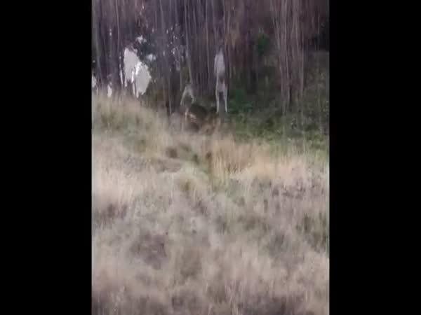 Kangaroo Vs German Shepherd