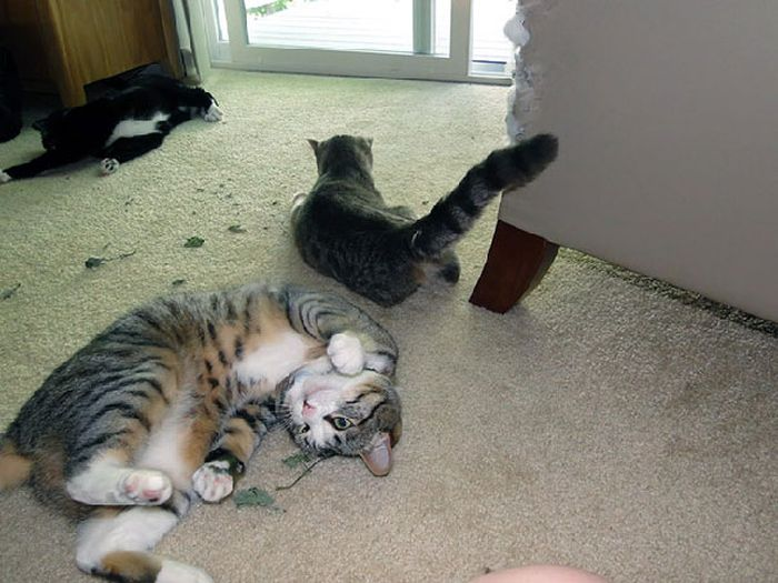 Cats With Substance Abuse Problems (32 pics)