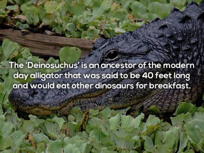 Terrifying Facts About Alligators (17 pics)