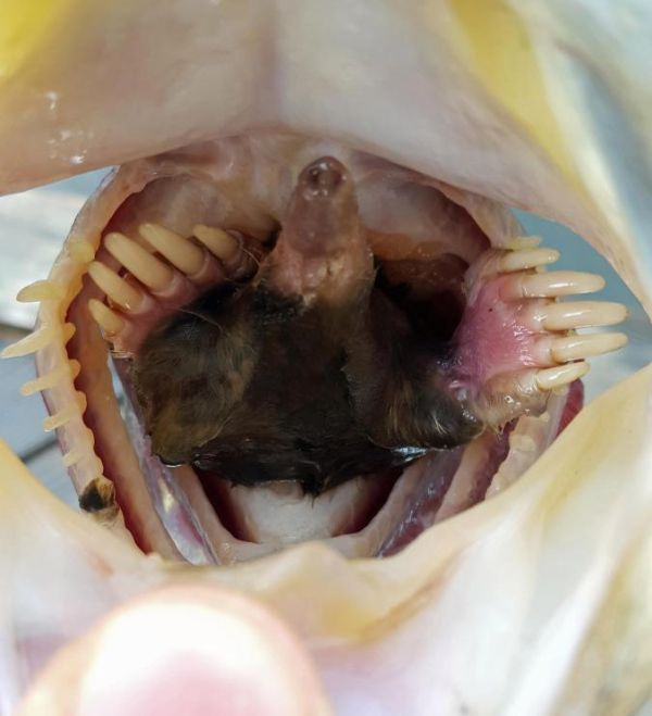 Man Catches Fish With A Mole Stuck In Its Mouth (3 pics)