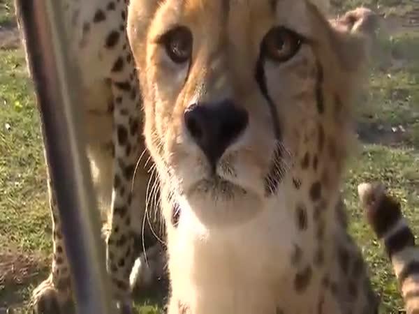 Cheetahs Meow