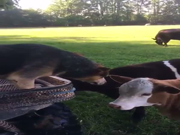 The Exact Moment A Dog Realizes That Cows Are Made Of Steak