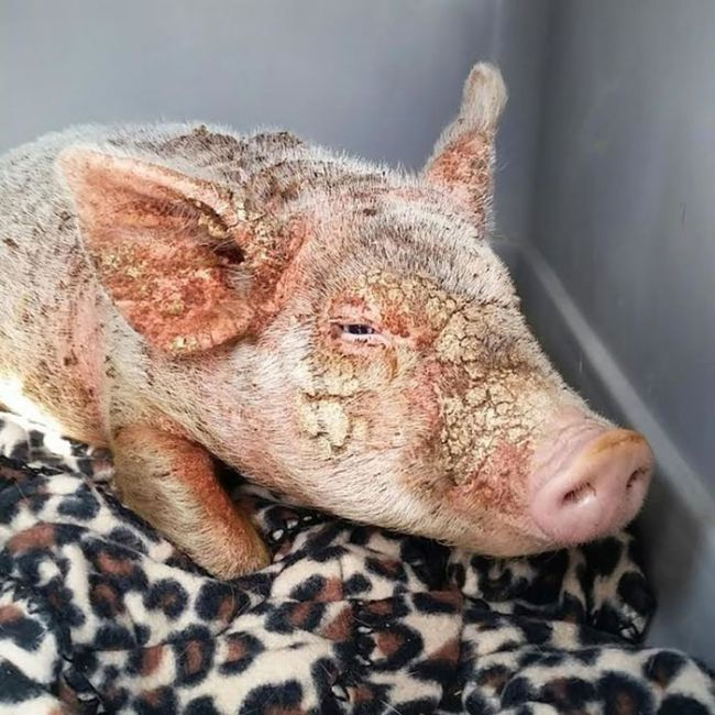 Piglet Abandoned At Shelter Goes Through Miraculous Transformation (7 pics)