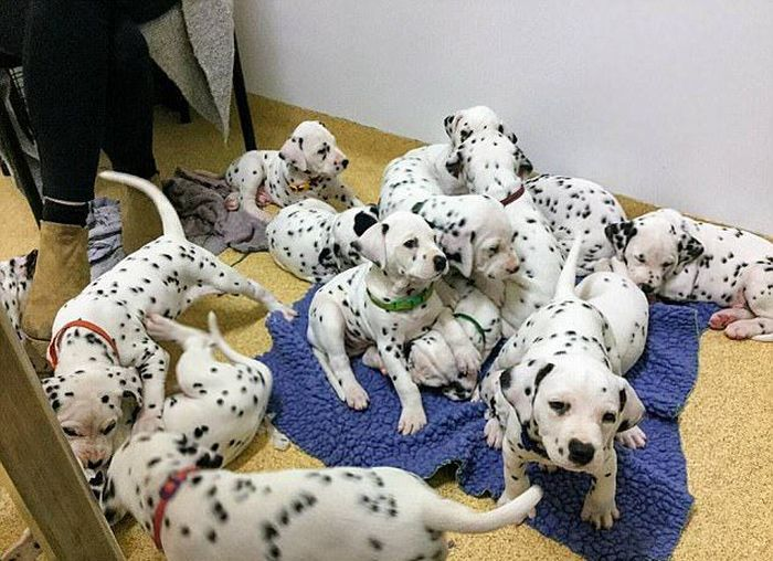 Australian Dalmatian Sets New Record (16 pics)