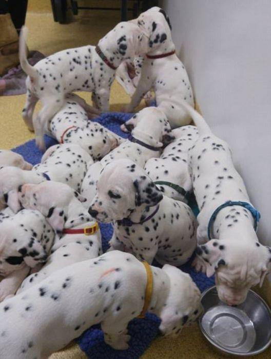 Australian Dalmatian Sets New Record (16 pics)