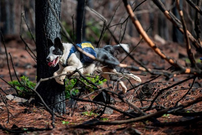 Dogs Help To Repair Burnt Forests In Chile (9 pics)