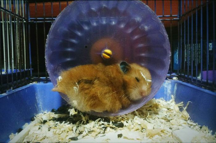 Hamster Doesn't Move For Three Days Due To Odd Reason (3 pics)