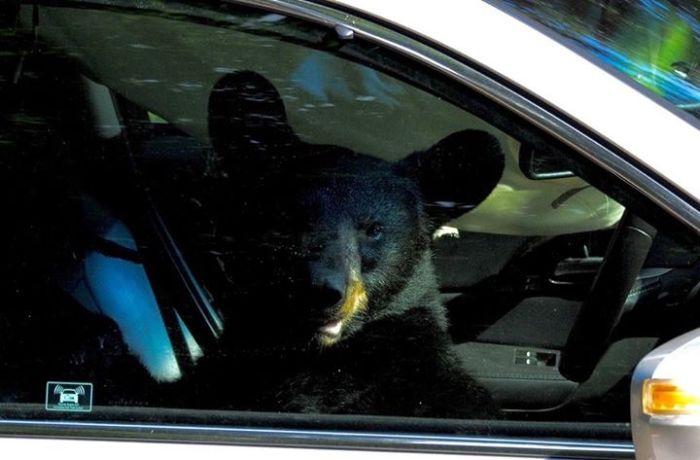 Bear Breaks Into American Car (5 pics)