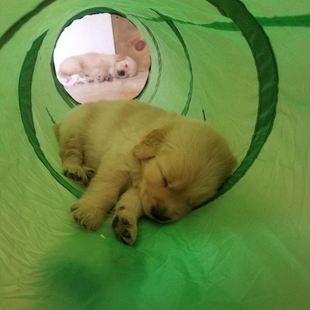 Times When Golden Retriever Puppies Were The Purest Thing In The World (30 pics)