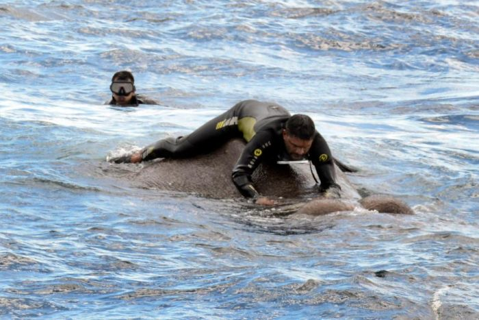 Sri Lankan Navy Saves Elephant After Swimming Ten Miles Out To Sea (5 pics)
