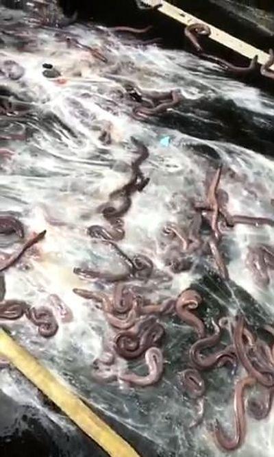 Slimy Sea Creatures Cause Major Problems (6 pics)